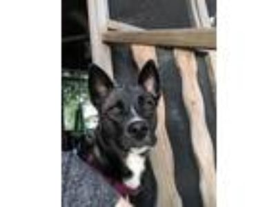 Adopt Navi a Australian Cattle Dog / Blue Heeler, Shepherd