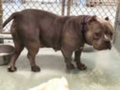Adopt NOLA a Gray/Silver/Salt & Pepper - with White American Staffordshire