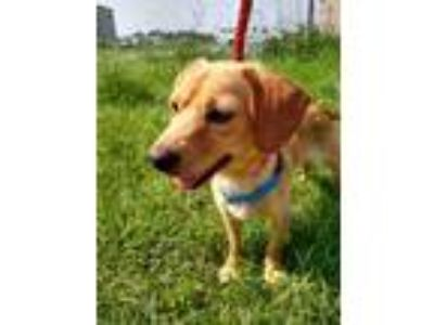 Adopt Biscuit a Tan/Yellow/Fawn Beagle / Labrador Retriever dog in Moorestown