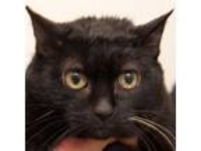 Adopt Lucille a All Black Domestic Shorthair cat in Middletown, RI (25313098)
