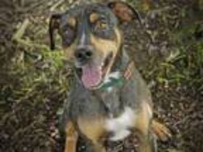 Adopt WHISTLER a Catahoula Leopard Dog, Mixed Breed