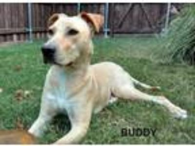 Adopt Buddy II a Tan/Yellow/Fawn Labrador Retriever / Mixed dog in Denton