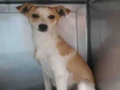 Adopt GOOFY a Tan/Yellow/Fawn Beagle / Mixed dog in Baldwin Park, CA (25566702)