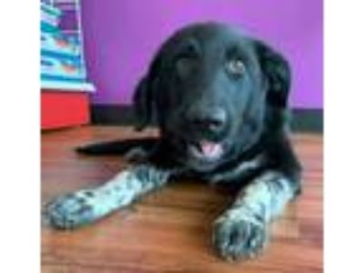 Adopt Ethel TX a Black - with White Hound (Unknown Type) / Australian Shepherd /