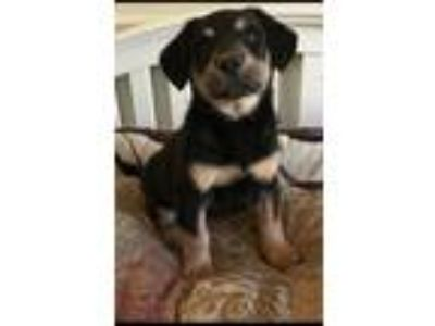 Adopt Titan a Australian Shepherd / Golden Retriever dog in Mesquite
