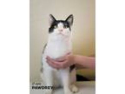 Adopt Pawdrey a Domestic Short Hair