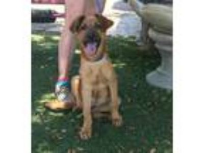 Adopt Athena a Tan/Yellow/Fawn - with Black German Shepherd Dog / Mixed dog in