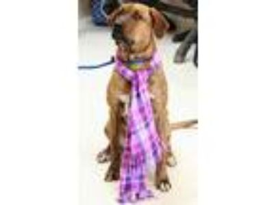 Adopt Nancy a Red/Golden/Orange/Chestnut Hound (Unknown Type) / Mixed dog in