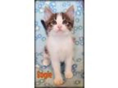 Adopt Bogie a Domestic Medium Hair, Domestic Short Hair