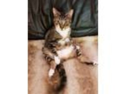 Adopt Cooper a Brown Tabby American Shorthair / Mixed cat in West Palm Beach