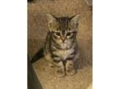 Adopt Winnie a Tabby, Domestic Medium Hair
