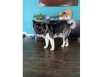 Adopt Moe a Black - with White Akita / Akita / Mixed dog in Huntington Beach