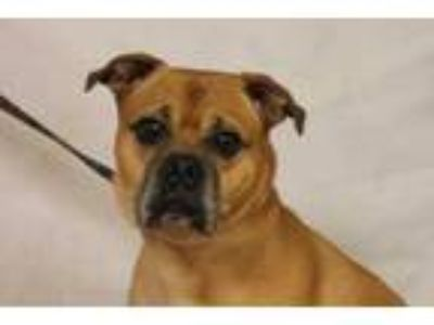 Adopt Pugsly a Tan/Yellow/Fawn Boxer / Pug / Mixed dog in Daytona Beach