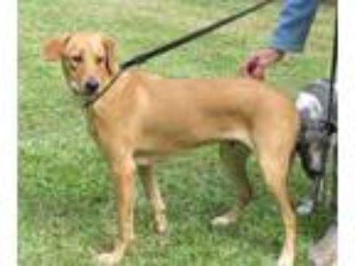 Adopt Rubens a Labrador Retriever, Hound