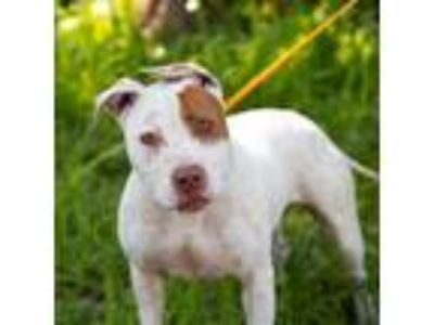 Adopt Mati a White Pit Bull Terrier / Mixed dog in Oakland, CA (25058149)