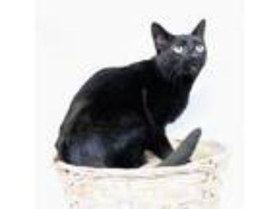 Adopt Cleopatra a All Black Domestic Shorthair / Mixed cat in Hot Springs