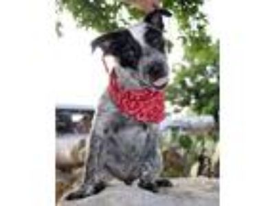 Adopt Spots MF a Australian Cattle Dog / Blue Heeler, Pointer