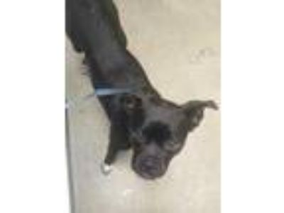 Adopt Bark Twain a Black Jack Russell Terrier / Boston Terrier / Mixed dog in