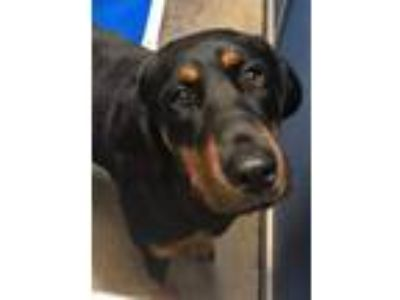 Adopt Cage 01 Roxy a Black - with Tan, Yellow or Fawn Rottweiler / Bloodhound /