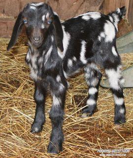 Adorable Mini Goat Kids