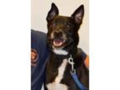 Adopt Tux a Black - with White Labrador Retriever / Basenji / Mixed dog in Horn