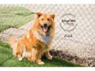 Adopt Hutch a Brown/Chocolate Chow Chow / Mixed dog in Kansas City