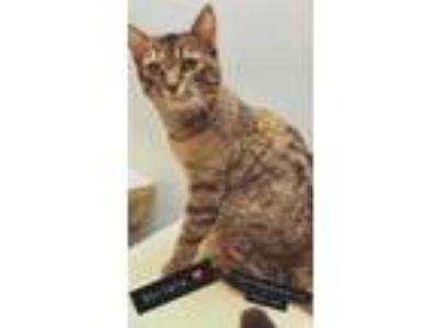 Adopt Stripie a All Black Domestic Shorthair / Domestic Shorthair / Mixed cat in
