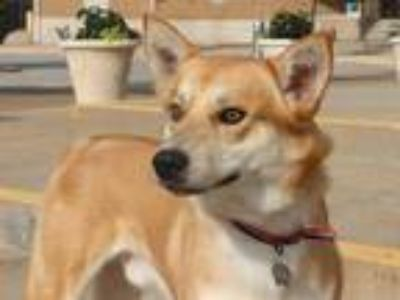 Adopt KENAI a Red/Golden/Orange/Chestnut - with White Shiba Inu / Mixed dog in