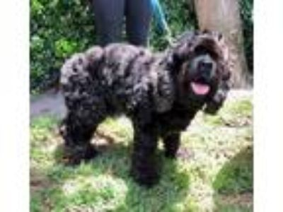 Adopt Bart a Cocker Spaniel