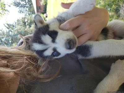 Small smark Akc registered Siberian Husky puppies for sale