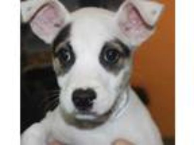 Adopt Sullivan a White American Pit Bull Terrier / Mixed dog in Spartanburg