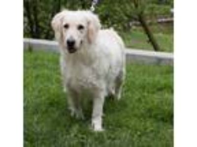 Adopt Grace a Golden Retriever