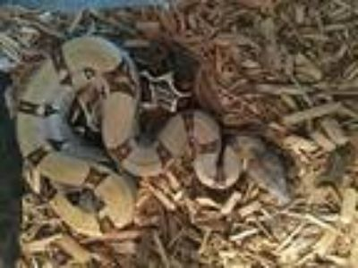 Adopt Ta Fiti a Snake reptile, amphibian, and/or fish in Lancaster