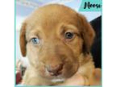 Adopt Moose a Red/Golden/Orange/Chestnut - with White Labrador Retriever dog in