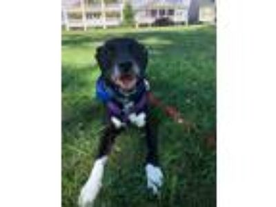 Adopt Dallas a Labrador Retriever, Staffordshire Bull Terrier