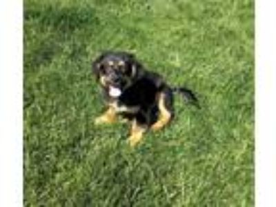 Adopt Gus Gus a German Shepherd Dog, Cattle Dog