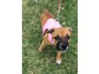 Adopt Minnie a Tan/Yellow/Fawn - with Black Pit Bull Terrier / Mixed dog in