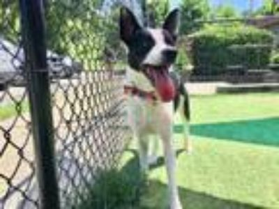 Adopt SPARKY a Collie, Pit Bull Terrier
