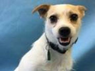 Adopt Lucy a Tan/Yellow/Fawn Terrier (Unknown Type, Small) / Mixed dog in Golden