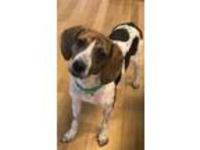 Adopt Abby a Beagle, Hound