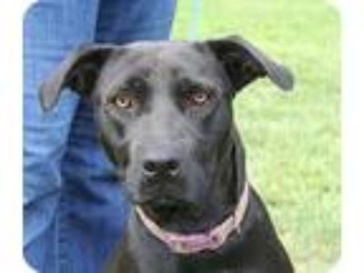 Adopt Ryleigh a Labrador Retriever / Mixed dog in West Columbia, SC (11295568)