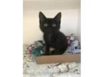 Adopt Inky a Domestic Shorthair / Mixed (short coat) cat in Neosho