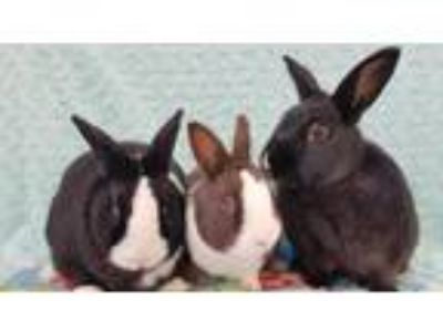 Adopt Prince (bonded to Duncan and Peaches) a Black Polish / Mixed rabbit in San