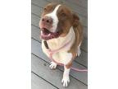 Adopt Rudy, social, smart & small! (port Orchard) a American Staffordshire