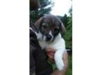 Adopt Orchid a Brown/Chocolate - with Black Mixed Breed (Medium) dog in