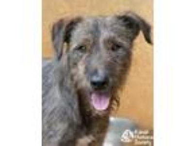 Adopt Whiskey a Brown/Chocolate Airedale Terrier / Mixed dog in Lihue