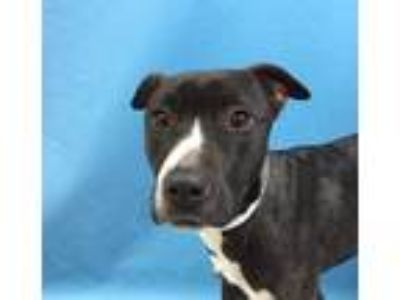 Adopt Nichole a Brown/Chocolate American Pit Bull Terrier / Mixed dog in St.