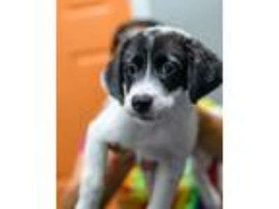 Adopt Skim Milk - available 7/19 a Border Collie