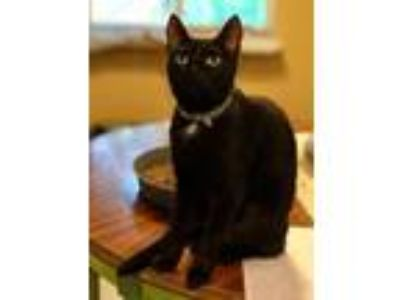 Adopt Cici a Domestic Short Hair