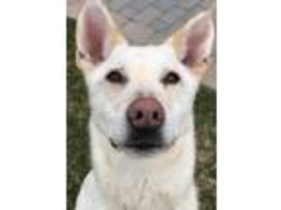 Adopt Albert a Shepherd (Unknown Type) / Labrador Retriever / Mixed dog in